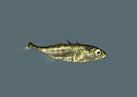 Three-spined Stickleback Gasterosteus aculeatus Length to 10cm<br /> Familiar freshwater 'tiddler' that also occurs in estuaries and brackish lagoons. Adult has slender body, elongate tail stock and 3 spines (2 long, 1 short) in front of dorsal fin. Mostly yellowish-green above, silvery below; breeding male has red belly and blue eyes. Widespread and locally common.