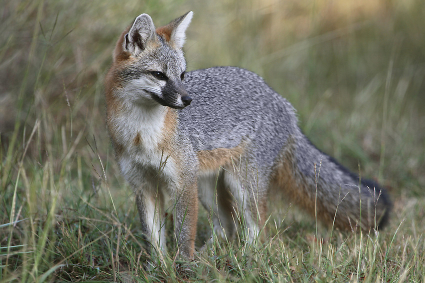 The gray fox, along with the coyote, is one of the most widespread mammals in Texas, residing from the Trans-Pecos to the Gulf Coast and from the Panhandle to the Lower Rio Grande Valley.