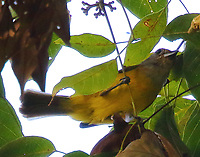 Female white-shouldered tanager