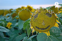 Sunflowers (Helianthus annuus) with smiley face (Licence this image exclusively with Getty: http://www.gettyimages.com/detail/85985754 )