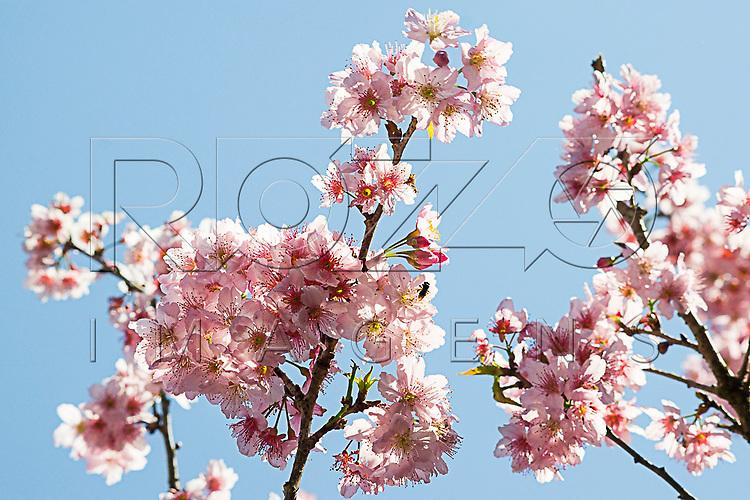 Detalhe de cerejeira florida no Bosque das Cerejeiras. Festa das Cerejeiras em Flor do Parque do Carmo - bairro Itaquera, São Paulo - SP, 08/2016.