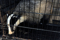 Badger for sale at the Noah Inner City Zoo - a pet shop that sells exotic animals. The Noah Inner City Zoo is a pet shop that sells exotic animals. The 'zoo' claims to have more than 300 species for sale, many of which are rare and some are even endangered.