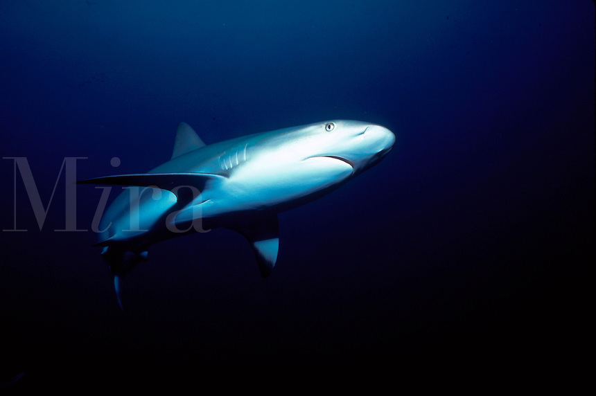 Horizontal image of a caribbean reef shark (carcharhimus perezi) gliding in with stealthy grace for a close look - Nassau, Bahamas.