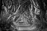 The Dark Hedges. Rural Beech tree lined road in Ireland.
