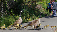 2014-05-03_12 Canada Goslings