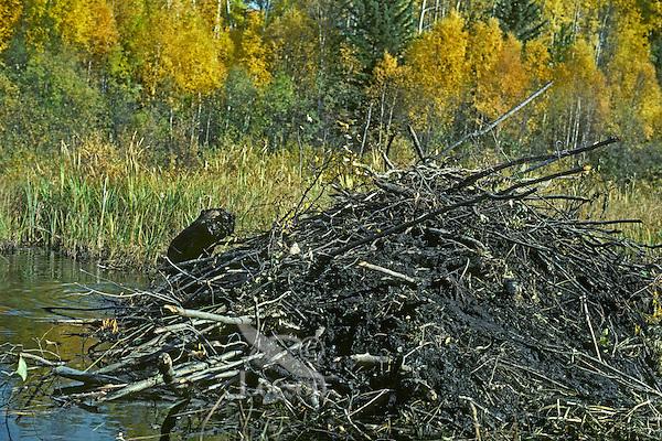 American Beaver (Castor canadensis) working on lodge--hauling mud.