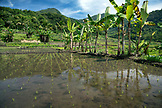 INDONESIA, Flores, planted fields with rice and bananas in Waturaka Village