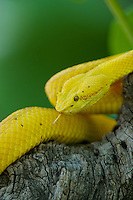 489180019 a captive golden yellow with black flecks eyelash viper bothriechis schlegelii sits coiled on a tree limb species is native to south and central america