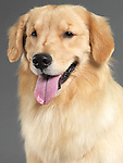 Golden retriever portrait isolated on gray background