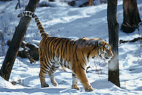 Siberian Tiger (Panthera tigris) scent marking tree by spraying its urine.