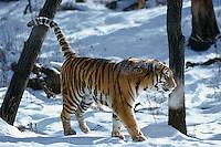 Siberian Tiger (Panthera tigris) scent marking tree by spraying its urine.