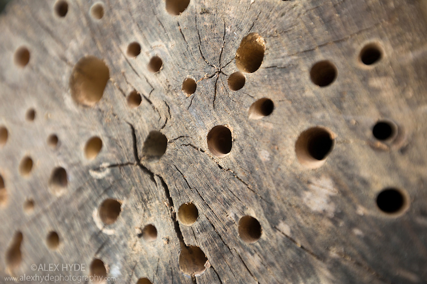 Holes drilled in log to provide habitat for insects such as solitary bees. UK.