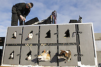 Sunday, March 4, 2012  Justin Savidis, dogs and dog truck at the restart of Iditarod 2012 in Willow, Alaska.