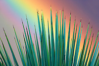Close up of palm leaves and rainbow. Near Scotsdale, Arizona