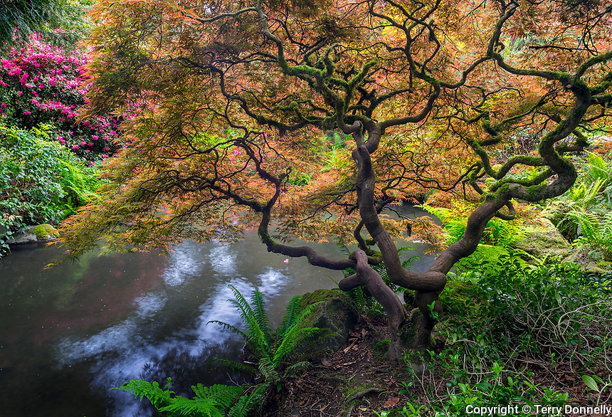 Seattle, WA<br /> Kubota Garden city park, structure and spring colors of a Japanese maple overhanging Mapes creek