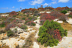 Coastal limestone natural vegetation at Ta' Cenc cliffs, island of Gozo, Malta