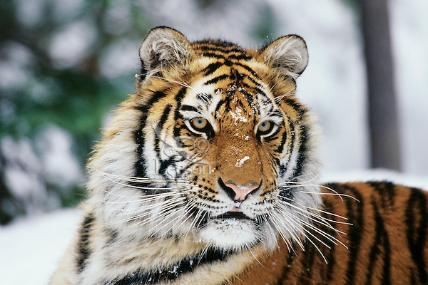 Siberian tiger portrait.  Winter