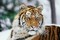 Siberian tiger portrait.  Winter