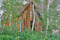 Old historic cabin with aspens. Near Denio. Nevada