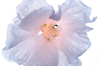 Rose of Sharon, (Hybiscus syriacus 'diana') blossom close up. Wilsonville, Oregon