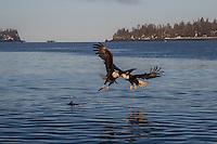 Bald Eagle, Homer Alaska photograph