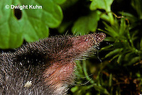 MB25-015z   Hairy-tailed Mole - close-up of nose and mouth - Parascalops breweri
