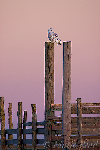 Snowy Owl (Nyctea scandiaca), perched on a fencepost at sunrise, Amherst Island, Ontario, Canada