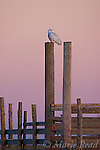 Snowy Owl (Nyctea scandiaca), perched on a fencepost at sunrise, Amherst Island, Ontario, Canada. WILD BIRD: not baited or called in.