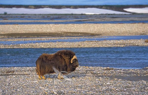 Muskox bull (Ovibos moscchatus) on shingle shore in summer in Arctic National Wildlife Refuge, Alaska, U.S.A.
