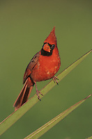 Northern Cardinal, Cardinalis cardinalis,male on Trecul Yucca (Yucca treculeana), Lake Corpus Christi, Texas, USA
