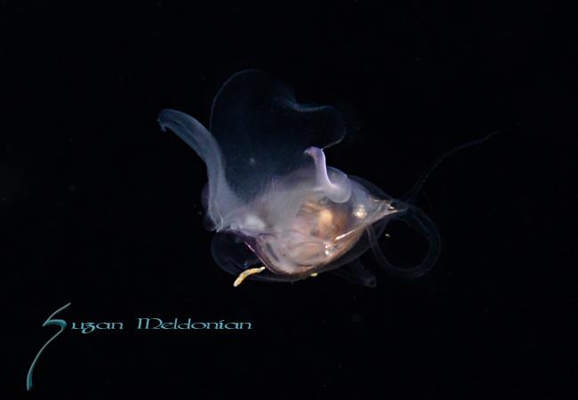 Pteropod, Cavolinia tridentata