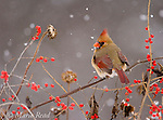 Northern Cardinal (Cardinalis cardinalis) female perched amid berries and seedheads with falling snow, New York, USA