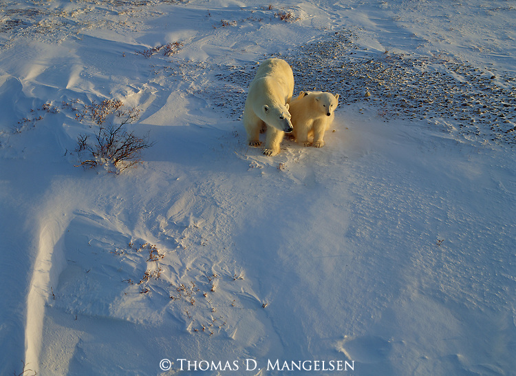 A mother polar bear and her two cubs at Hudson Bay wait for the ice to form in order to hunt for seals.<br /> Manitoba, Canada