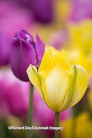 63821-22801 Pink, yellow, and purple tulips, Chicago Botanic Garden, Glencoe, IL