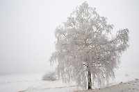 Frost and snow on a beach tree - Near Bojok - Hungary