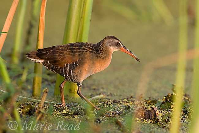 Virginia Rail (Rallus limicola), Perch River Wildlife Management Area, New York, USA