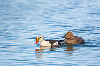 Male and female king eider ducks swim in a tundra pond on Alaska's arctic north slope.