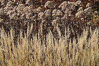 Eupatorium maculatum 'Atropurpureum' and Calamagrostris brachytricha