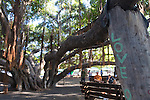 The Banyan Tree in the town of Lahaina, is the largest Banyan Tree in the USA. Maui, Hawaii, USA