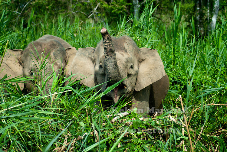 The Borneo Elephant also called the Borneo Pygmy Elephant inhabits northeastern Borneo. Its origin remains the subject of debate. A definitive subspecific classification as Elephas maximus borneensis awaits a detailed range-wide morphometric and genetic study. Since 1986, Elephas maximus has been listed as endangered by IUCN as the population has declined by at least 50% over the last three generations, estimated to be 60-75 years. The species is pre-eminently threatened by habitat loss, degradation and fragmentation.