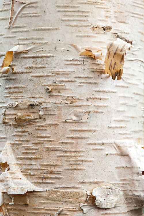 Trunk and bark of Erman's birch (Betula ermanii).