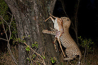 Pound for pound, there is no stronger big cat. Leopards have the ability to carry their own body weight up a tree – extremely useful when keeping your prey away from fellow predators.