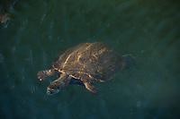 Goiania_GO, Brasil...Tartaruga no Lago do Parque Bosque dos Buritis em Goiania, Goias...Turtle in Pond at Bosque dos Buritis Park in Goiania, Goias...Foto: BRUNO MAGALHAES / NITRO