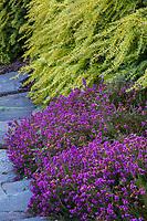 Erica cinerea 'Purple Beauty' (Purple Beauty Bell Heather) flowering groundcover with Taxus baccata 'Repandens Aurea' (aka 'Repens Aurea') Golden Spreading English Yew flowering groundcover, Albers Vista Gardens