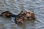 Sea otters_BT_FB