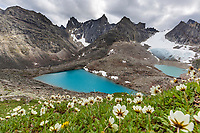 Mountain aven flowers bloom on the tundra in the slopes of the Aquarius Valley in the Arrigetch Peaks, Gates of the Arctic National Park, Alaska