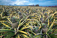 Pineapple Growing, pineapple field, agriculture. Hawaii USA Maui.