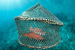 Grouper caught and penned into a small cage as storage for the live fish trade, Raja Ampat, West Papua Province, Indonesia, Pacific Ocean