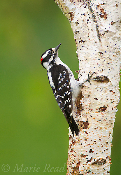 Downy Woodpecker (Picoides pubescens) male clinging to birch trunk in spring, New York, USA.