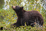 Chocolate black bear feeding on hawthorn berries. Grand Teton National Park, Wyoming.